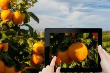 Фрукты с NFC: на Сицилии задействовали инновации для проверки подлинности апельсинов