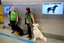 Собачий труд: аэропорт Хельсинки начал привлекать животных для выявления больных коронавирусом